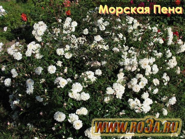 Роза Sea Foam Си Фоам Морская Пена</li>