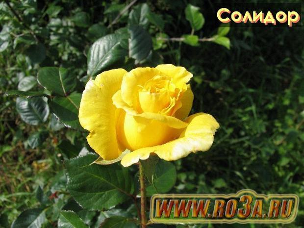 Роза Solidor Солидор