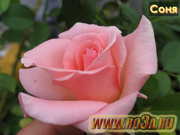 Роза Sonia Соня Sweet Promise</li>