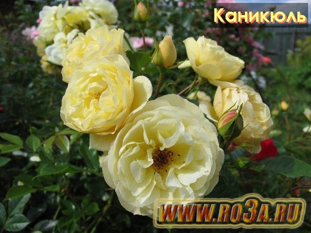 Роза Sonnen Schirm Каникюль