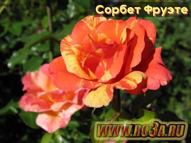 Роза Sorbet Fruite Сорбет Фруэте