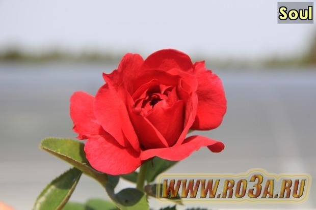 Роза Soul Соул