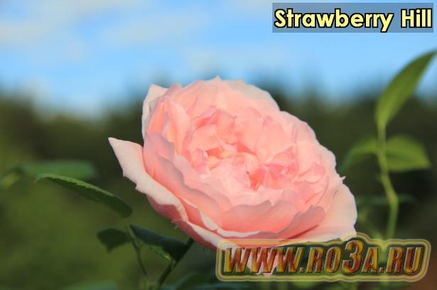 Роза Strawberry Hill Страубери Хил