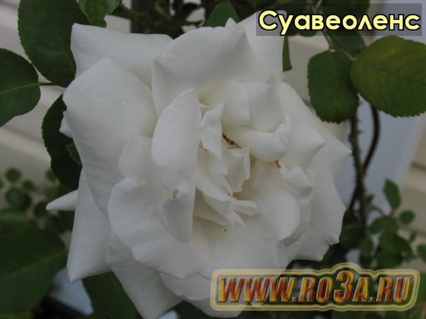 Роза Suaveolens Суавеоленс