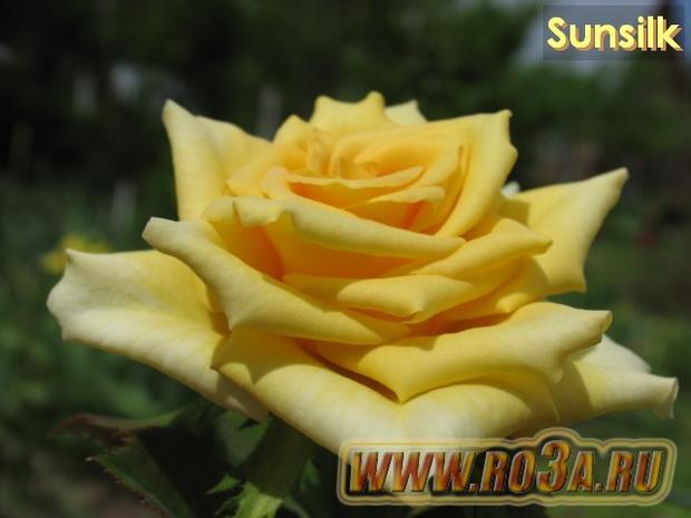 Роза Sunsilk Сансилк Sweet Promise</li>