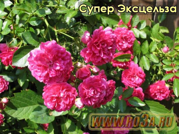 Роза Super Excelsa Супер Эксцельза