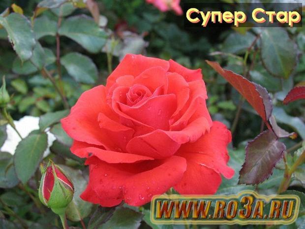 Роза Super Star Супер Стар Tropicana</li>