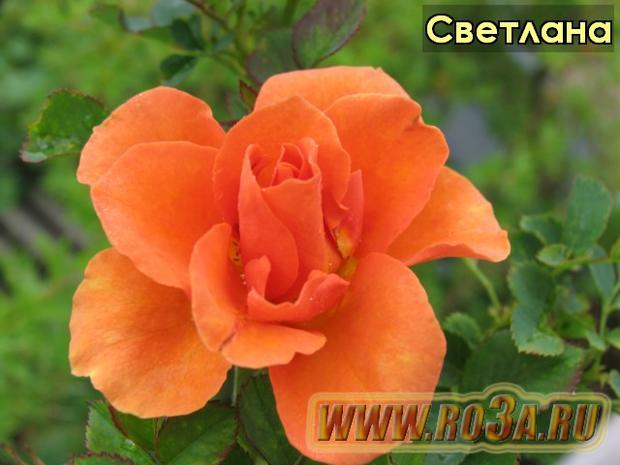 Роза Svetlana Светлана