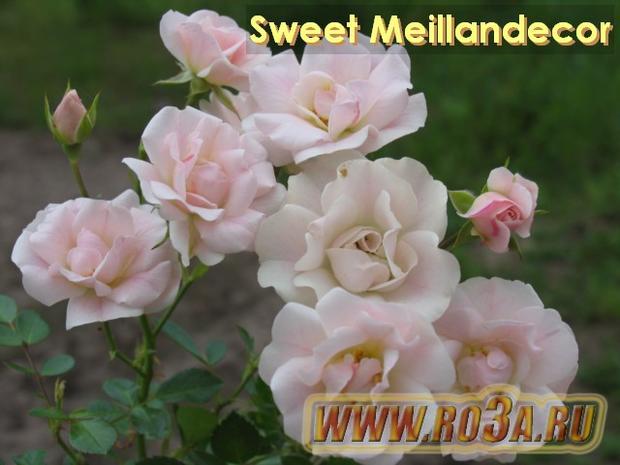 Роза Sweet Meillandecor Свит Мейландекор