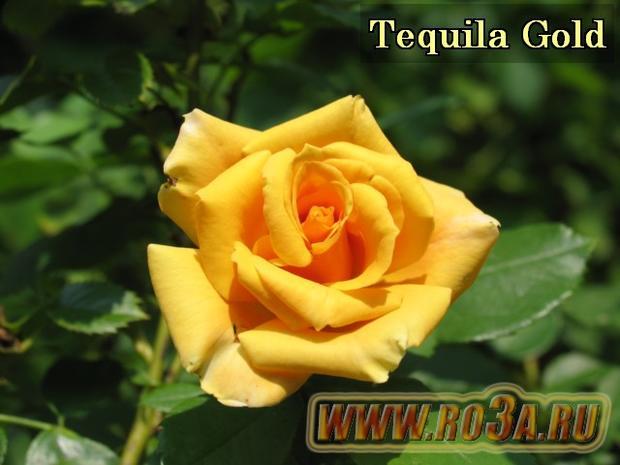 Роза Tequila Gold Текила Голд
