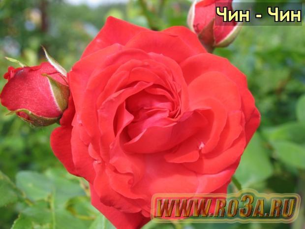 Роза Tchin-Tchin Чин - Чин