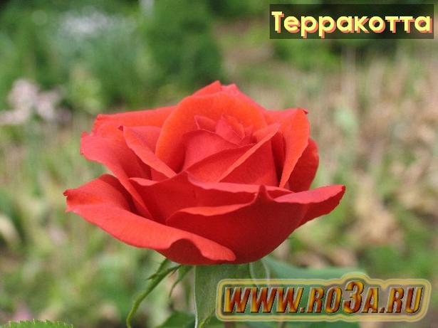 Роза Terracotta Терракотта