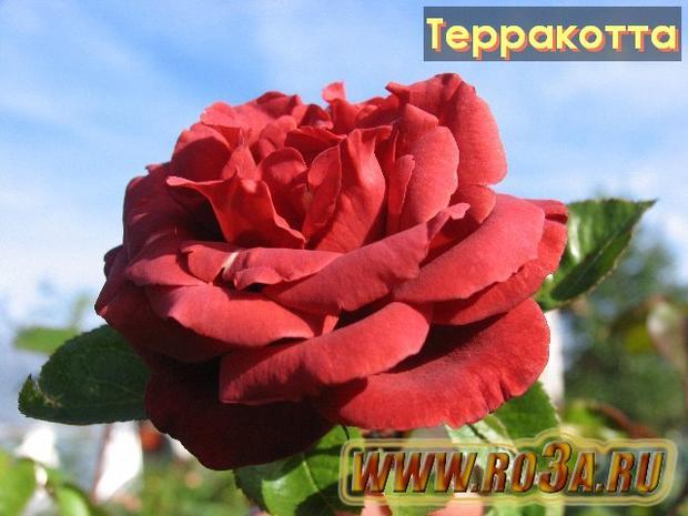 Роза Terracotta Терракотта Tropicana</li>