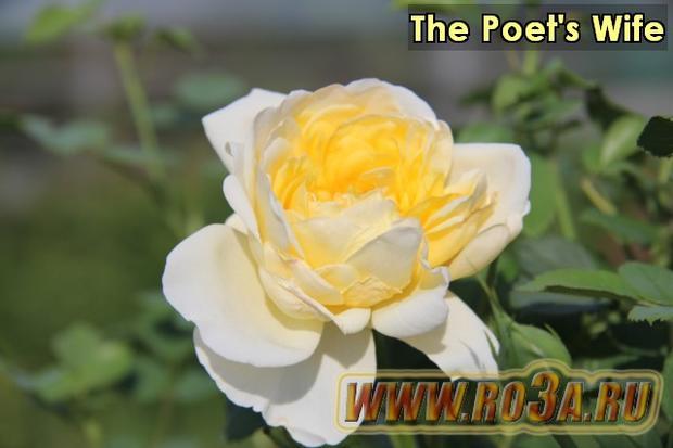 Роза The Poet′s Wife Жена Поэта