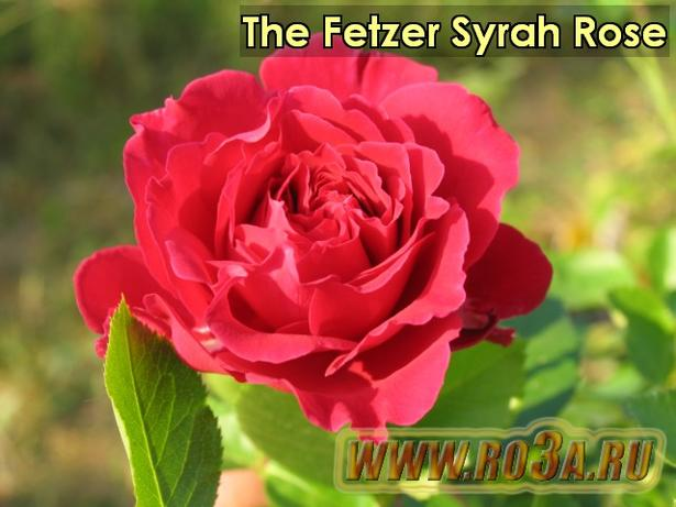Роза The Fetzer Syrah Rose Фетцер Сарах