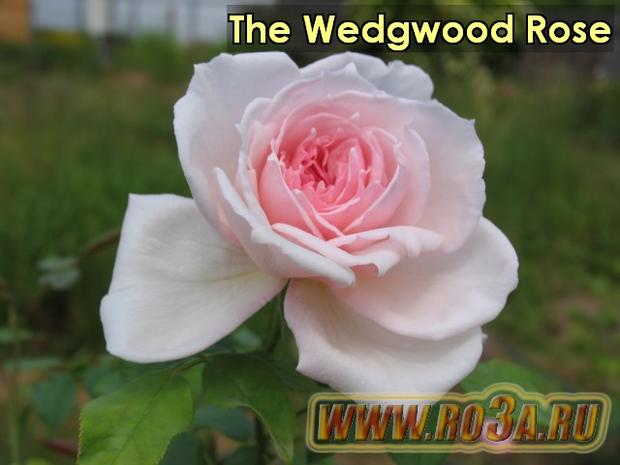Роза The Wedgwood Rose Зе Веджвуд роуз