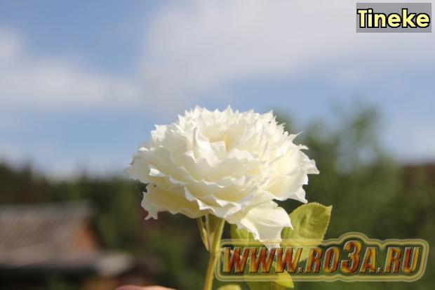 Роза Tineke Тинеке