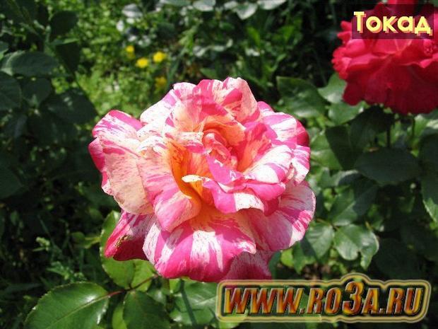 Роза Tocade Токад