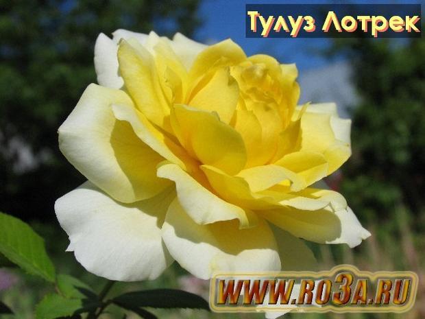 Роза Toulouse Lautrec Тулуз Лотрек
