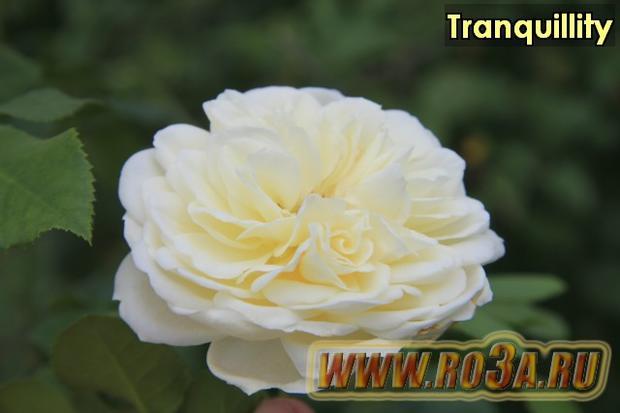 Роза Tranquillity Транквиллити