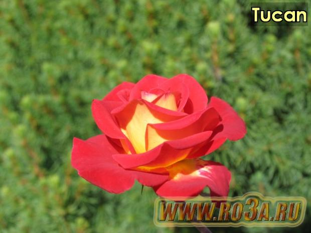 Роза Tucan Тукан