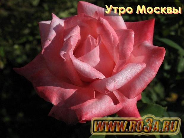 Роза Utro Moskvy Утро Москвы