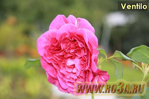 Роза Ventilo Вентило