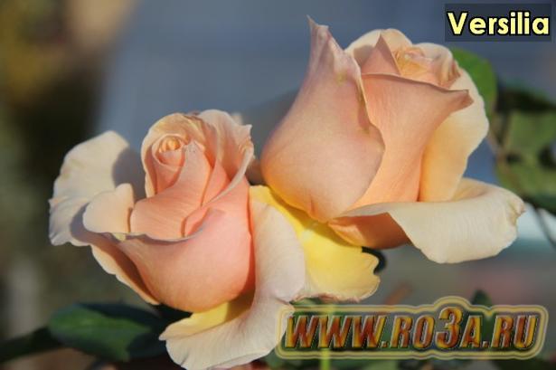 Роза Versilia Версилия