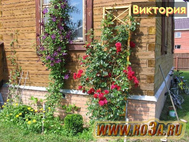 Роза Victoria Виктория