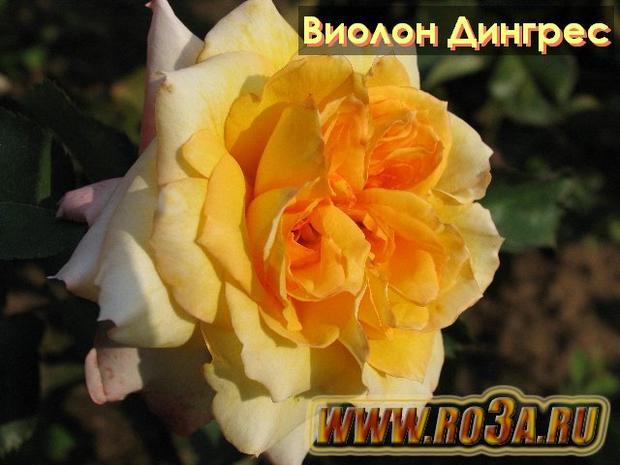 Роза Violon D′Ingres Виолон Дингрес