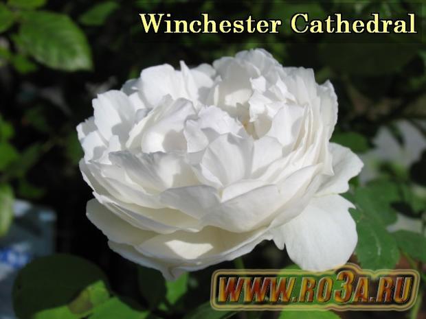Роза Winhester Cathedral Винчестер Кафедрал