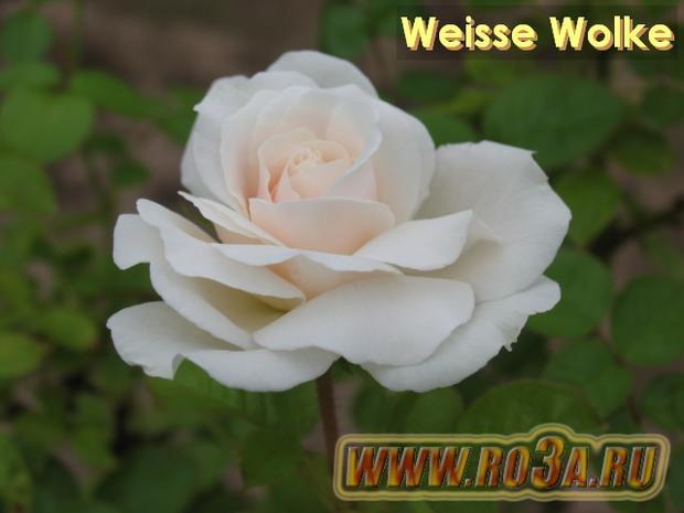 Роза Weisse Wolke Вайсе Вольке