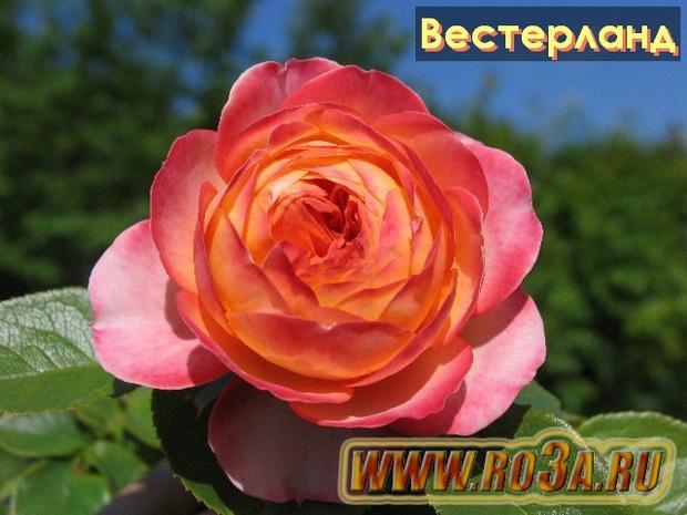 Роза Westerland Вестерланд