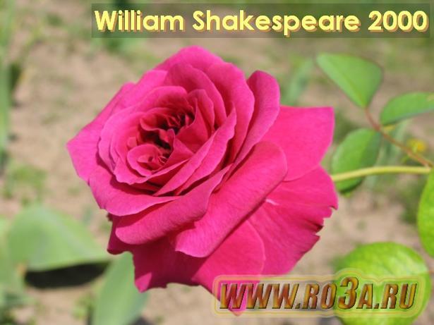 Роза William Shakespeare 2000 Вильям Шекспир 2000