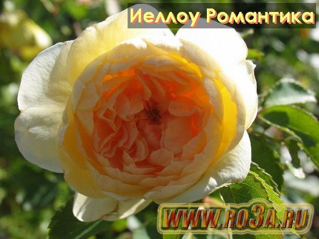 Роза Yellow Romantica Иеллоу Романтика
