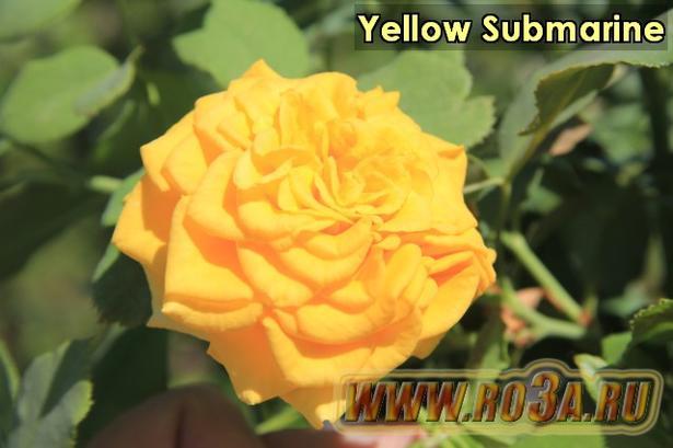 Роза Yellow Submarine Йеллоу Субмарин