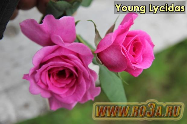 Роза Young Lycidas Янг Люсидас
