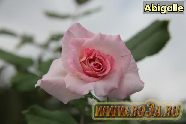 Роза Abigalle Абигайл