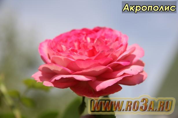 Роза Acropolis Акрополис