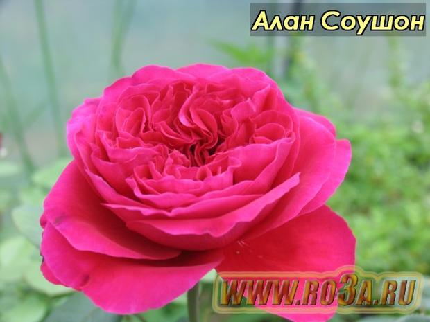 Роза Alain Souchon Алан Соушон Caruso, Valentina Casucci</li>
