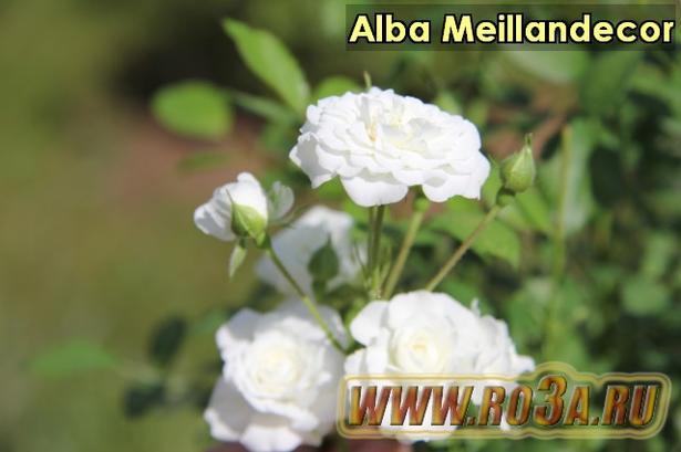 Роза Alba Meillandecor Альба Мейландекор