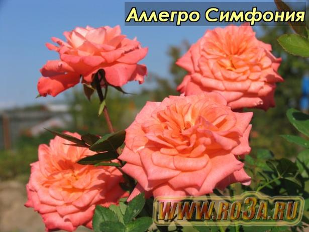Роза Allegro Symphonie Аллегро Симфония