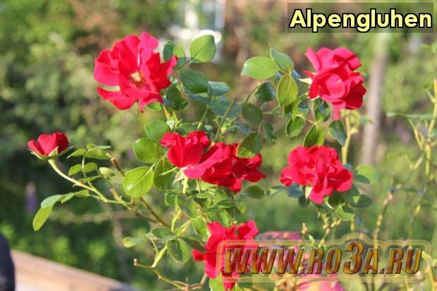 Роза Alpengluhen Алпэнглюэн