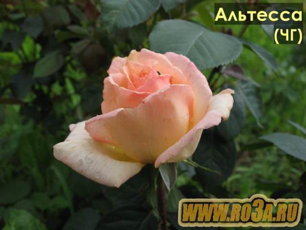 Роза Altessa Альтесса