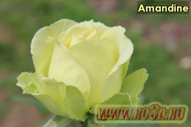 Роза Amandine Амандин