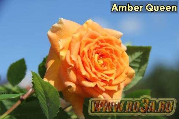 Роза Amber Queen Амбер Квин
