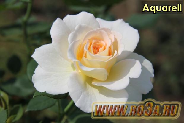 Роза Aquarell Акварель