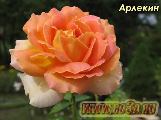 Роза Arlequin Арлекин