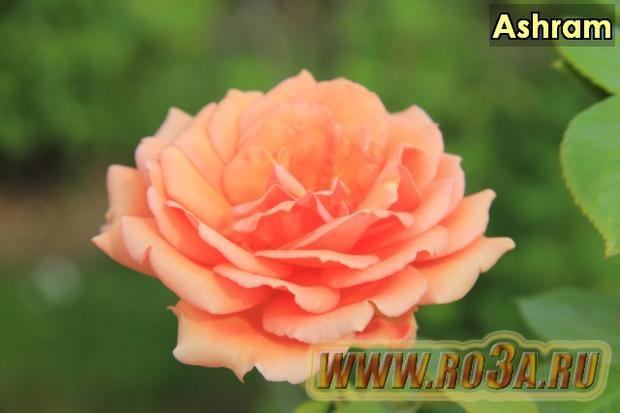 Роза Ashram Ашрам