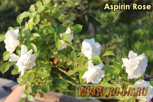 Роза Aspirin Rose Аспирин Роз